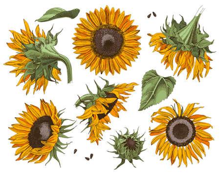 Hand drawn sunflowers set