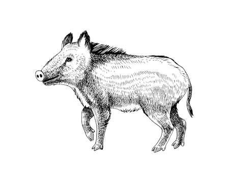 Hand drawn wild boar