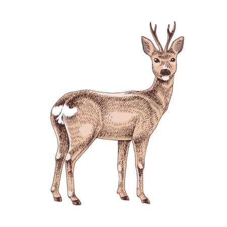 Hand drawn roe Vector Illustratie