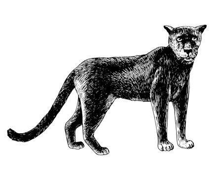 Hand drawn black puma isolated on white background