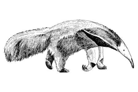 Hand drawn anteater isolated on white background