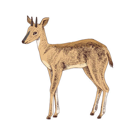 Hand drawn duiker isolated on white background