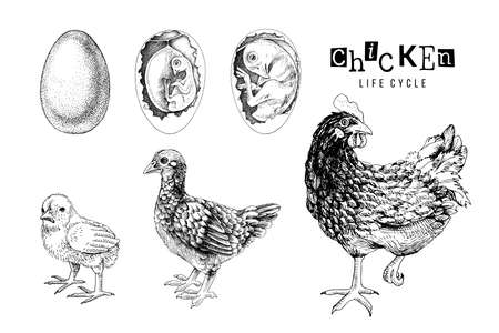 Monochrome Life cycle of a Chicken