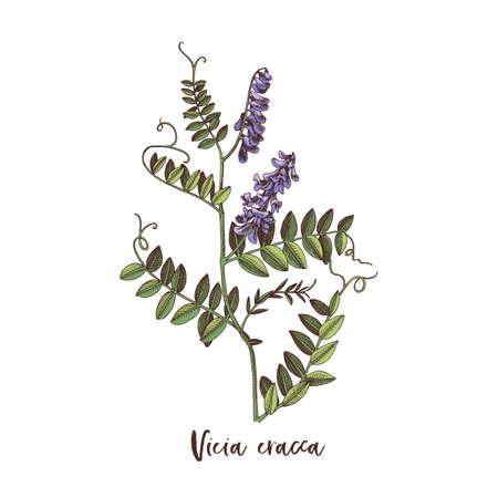 Branch of Vicia cracca. Medicinal herb