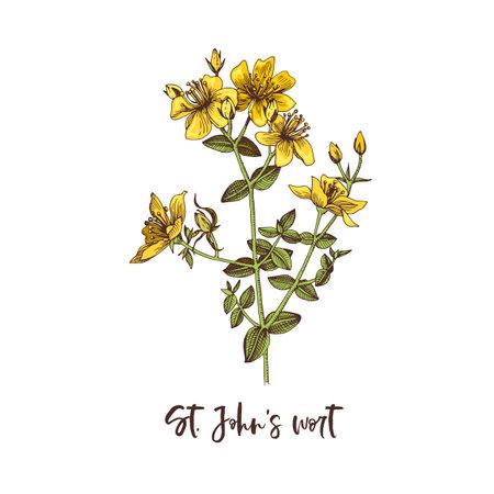 Branch of St. Johns wort. Medicinal herb Stock Illustratie