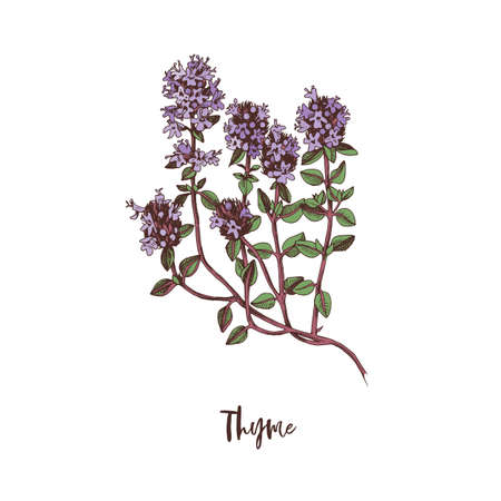Branch of Thyme. Medicinal herb