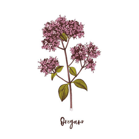 Branch of Oregano. Medicinal herb