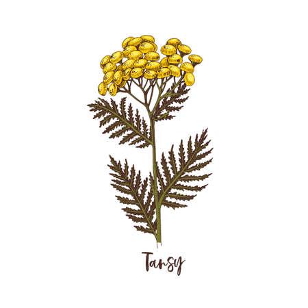 Branch of Tansy. Medicinal herb