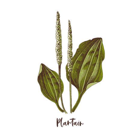 Branch of Plantain. Medicinal herb Stock Illustratie