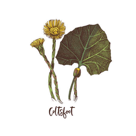 Branch of Coltsfoot. Medicinal herb