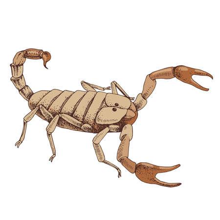 Yellow Scorpion isolated on white background