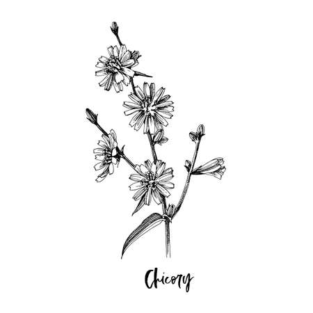 Branch of Chicory. Medicinal herb Stock Illustratie