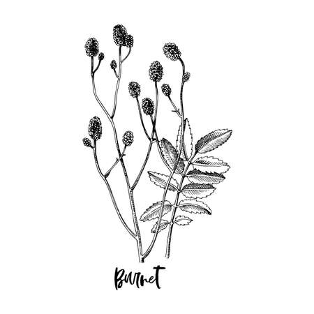 Branch of Burnet. Medicinal herb