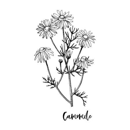 Branch of Camomile. Medicinal herb