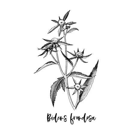 Branch of Bidens frondosa. Medicinal herb Stock Illustratie