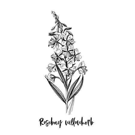 Branch of Rosebay willowherb. Medicinal herb Stock Illustratie