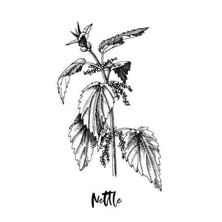 Branch of Nettle. Medicinal herb