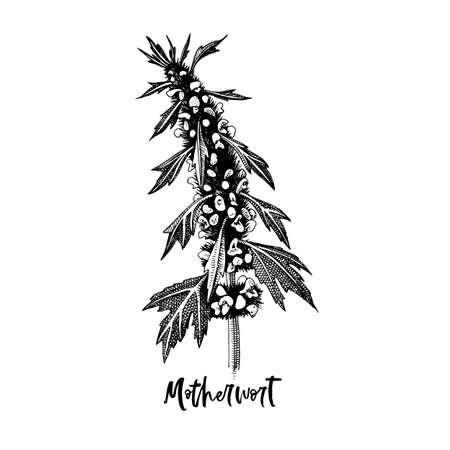 Branch of Motherwort. Medicinal herb