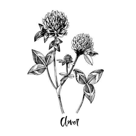 Branch of Clover. Medicinal herb