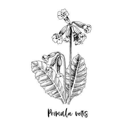 Branch of Primula veris. Medicinal herb