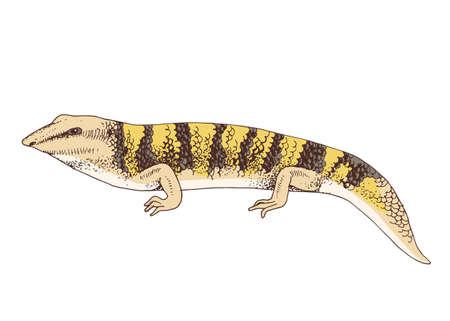 Hand Drawn illustration of desert Sandfish skink Stock Illustratie