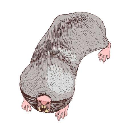 Hand drawn greater mole rat.
