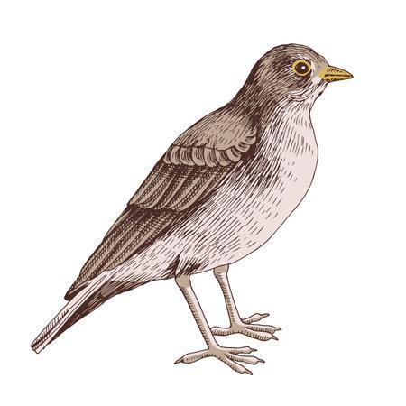 Desert lark isolated on white background Stock Illustratie