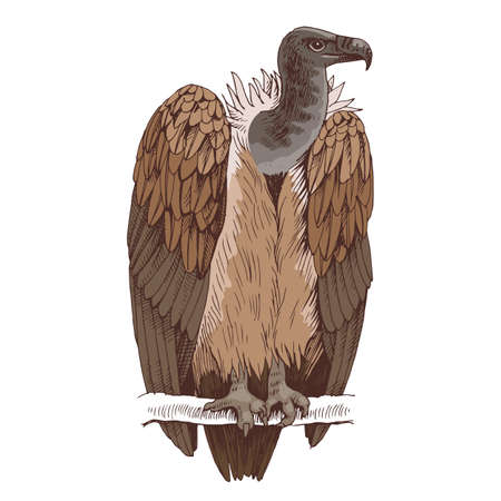 Griffon vulture on a white background. Stock Illustratie