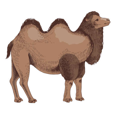 Bactrian Camel on white background.