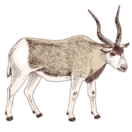 African addax antelope with long horns