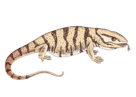Hand drawn desert varanus griseus.