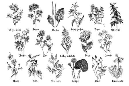 Hand drawn monochrome set of medicinal herbs Stockfoto