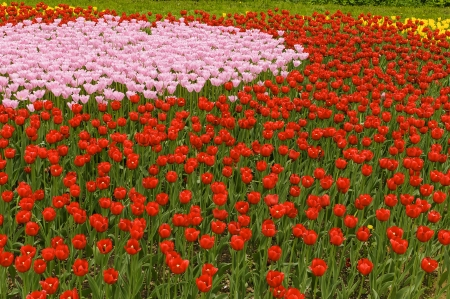 aciculum: Glade of tulips Stock Photo