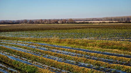 danubian: Strawberry fields in the Danubian Plain in autumn Stock Photo