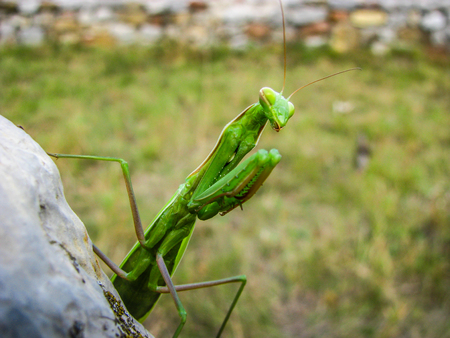 Green Mantis ready for attack