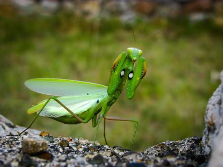 Green Mantis on the rocks