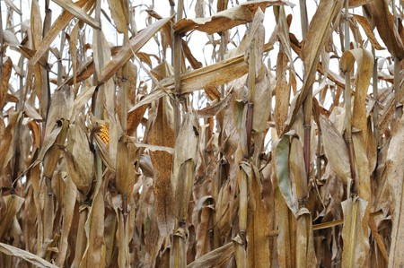 horizontal row of corn stalks after harvest with one ear exposed Foto de archivo