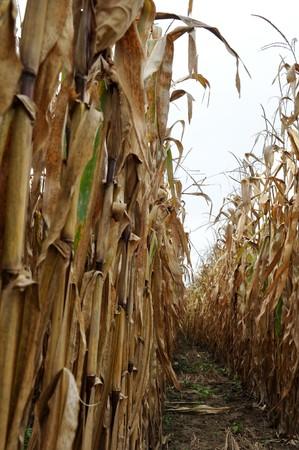 vertical rows of corn stalks after harvest