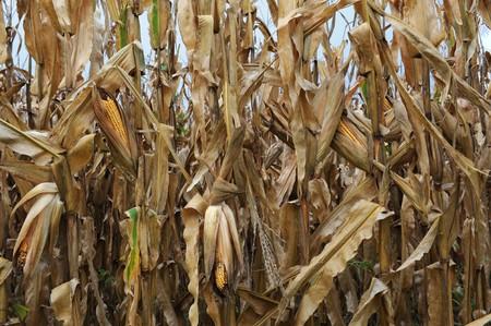 dead corn field after harvest season