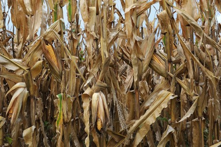 dead corn field after harvest season