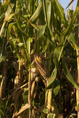 vertical of single ear of corn in a field ready for harvest