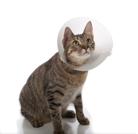 Tabby cat in a cone isolated on a white background 版權商用圖片