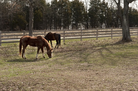 fenced in: Two dirty horses in a peaceful fenced in yard