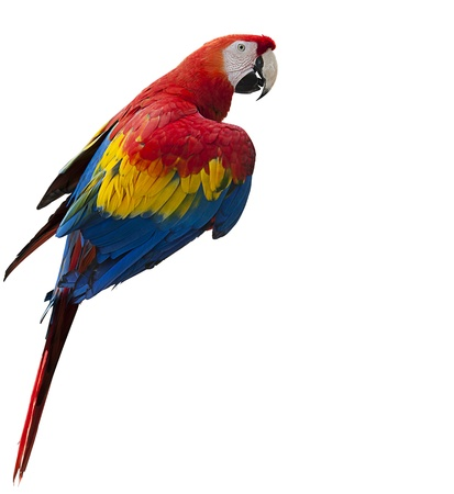 Colorful parrot isolated on white background, selective focus on face