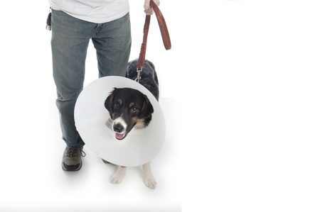 Man walks his dog in a protective cone photo