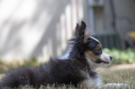 Miniature Australian shepherd puppy dog sniffs the grass  Stock Photo - 14563395