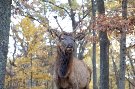 Closeup of an elk in the woods Stock Photo - 23832370