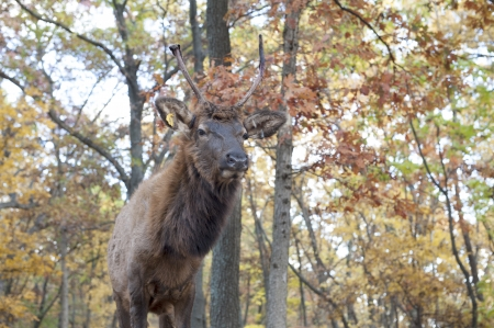 Closeup of an elk in the woods Stock Photo - 23832371