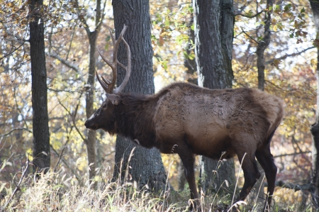 Closeup of a large male elk in the woods Stock Photo - 23832372