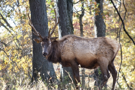 A large elk with antlers stands in the woods Stock Photo - 23832373